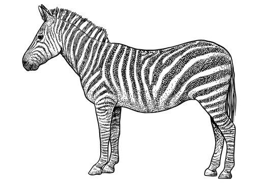 Zebra  illustration, drawing, engraving, ink, line art, vector