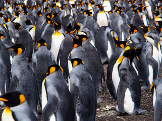 Colony of king penguins waddling over land