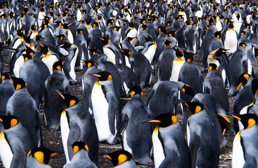 Colony of king penguins bustling together on land