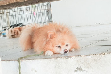 Sleepy Pomeranian dog on the floor. Adorable dog