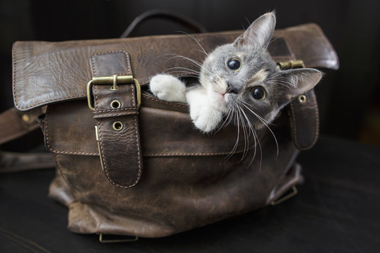 Funny kitten sitting in an old leather bag with a sad look and do not want to let the owners to go to work