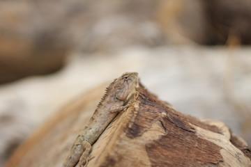 Lizard on the stump