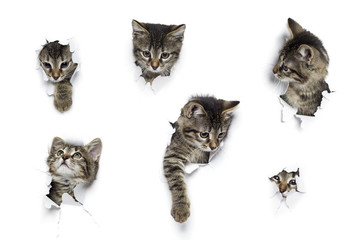 Kittens in holes of paper, little grey tabby cats peeking out of torn white background, six funny playing pets