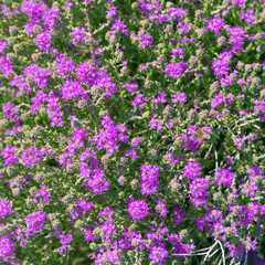 Floral background. Screen saver of many small lilac flowers.