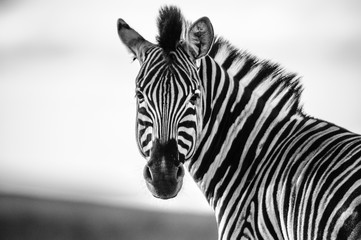 Poster Zebra Zebra Straight on Black and White
