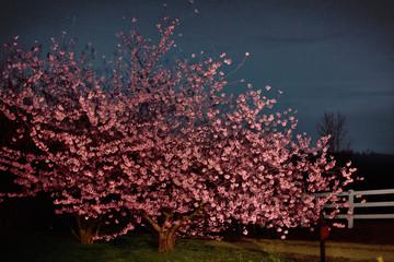 Cherry blossom tree night vignette