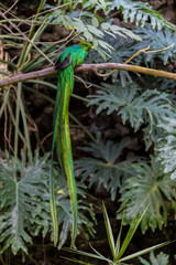 Quetzal macho 1