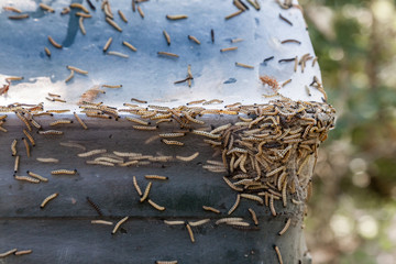 Close-up of many Ermine moths larvae together on a trash can outdoors with thick web.