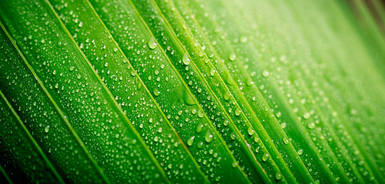 Beautiful green tropic palm leaf with drops of water useful for summer background