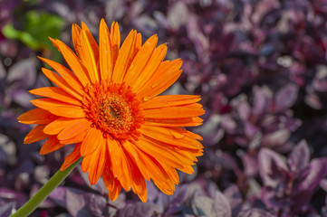 Bright orange gerbera in a garden with purple leaves background