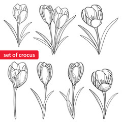 Vector set with outline crocuses or saffron flowers isolated on white. Template with ornate floral elements for spring design, greeting, invitation or coloring book. Crocus flower in contour style.