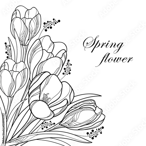 Vector bouquet with outline crocuses or saffron flowers isolated on vector bouquet with outline crocuses or saffron flowers isolated on white ornate floral elements for mightylinksfo