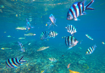 Underwater photo with dascillus tropical fish in blue water. Exotic lagoon with ocean life.