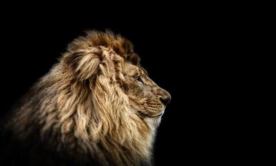 Portrait of a Beautiful lion