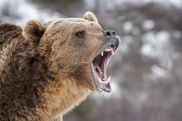 Wall Mural - Roaring Grizzly Bear