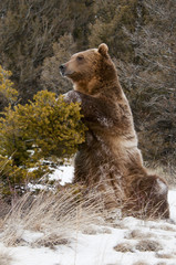Wall Mural - Grizzly Bear Sitting by Bush