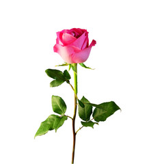 Pink rose with stem and leaves isolated on white background.