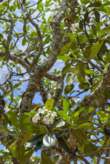 Beautiful white-yellow plumeria (frangipani) flower with leaves at tree branch
