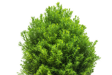 Thuja teddy branches close-up isolated on white background