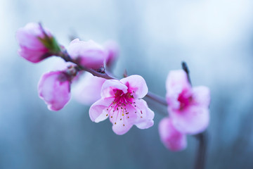 Beautiful blooming spring peach branch