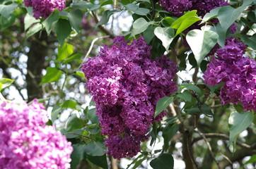 Keuken foto achterwand Lilac lilac flowers