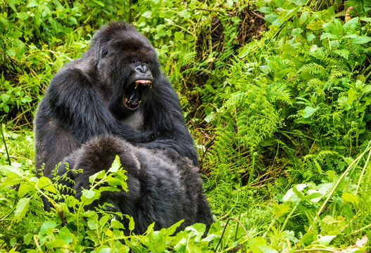 Gorilla sitting with mouth wide open