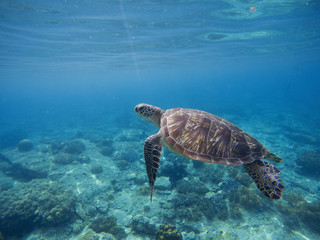 Green turtle underwater in blue ocean. Lovely sea animal in wild nature closeup photo