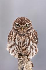 little owl, athene noctua, Czech republic