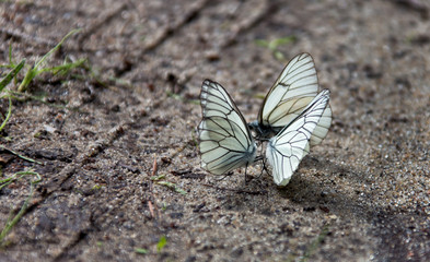 White butterfly sitting on the wet ground