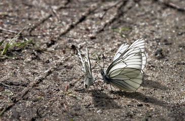 White butterfly sitting on the wet ground - Russia