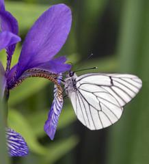 Butterfly on a iris