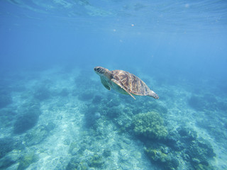 Sea turtle in Philippines sanctuary. Green turtle in sea water