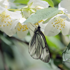 White butterfly hanging on flower jasmine