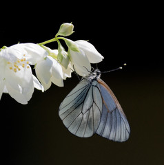 White butterfly hanging on a beautiful flower jasmine
