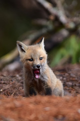 Baby fox kit yawning or howling