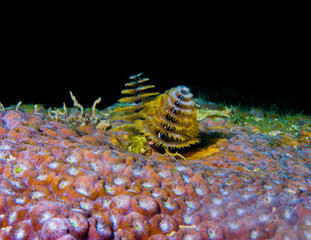 Pair of Christmas Tree Worms