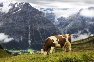 Cow grazing Swiss Alps, Grindelwald, Switzerland