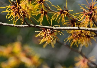 Golden blossoms of Japanese witch hazel in early spring