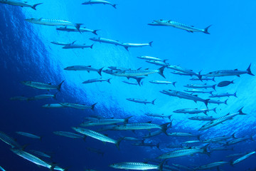 Barracuda fish school in blue ocean water