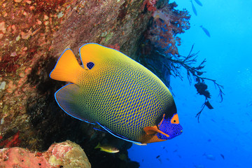 Blue-faced Angelfish tropical fish