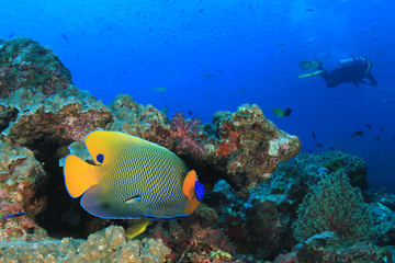 Angelfish and scuba diver