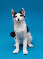 Black and white smooth coat kitten sitting, looking surprised