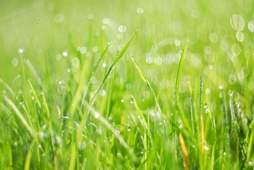 Green grass in morning dew