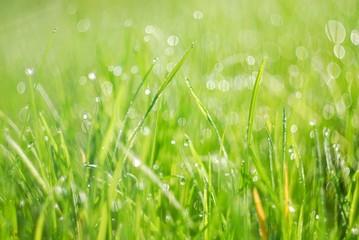 Green grass in morning dew