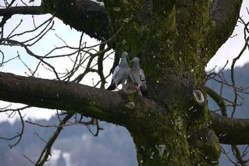 2 Tauben turteln auf einem Baum