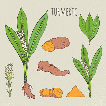 Turmeric medical botanical isolated illustration. Plant, root cutaway, leaves, spices hand drawn set. Vintage sketch colorful.