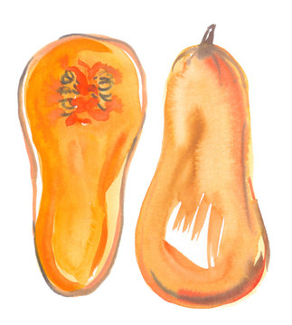 Single big ripe orange butternut squash cut in half painted in watercolor on clean white background