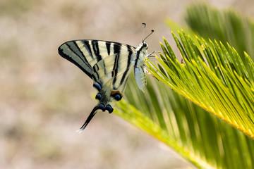 Farfalla podalirio