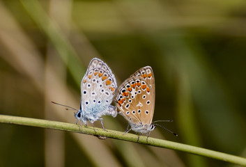 coupling butterfly common blue
