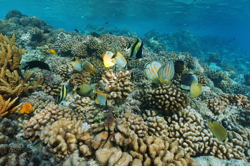 Underwater tropical sea with colorful fish on a coral reef, natural scene, lagoon of Rangiroa, Tuamotu, Pacific ocean, French Polynesia